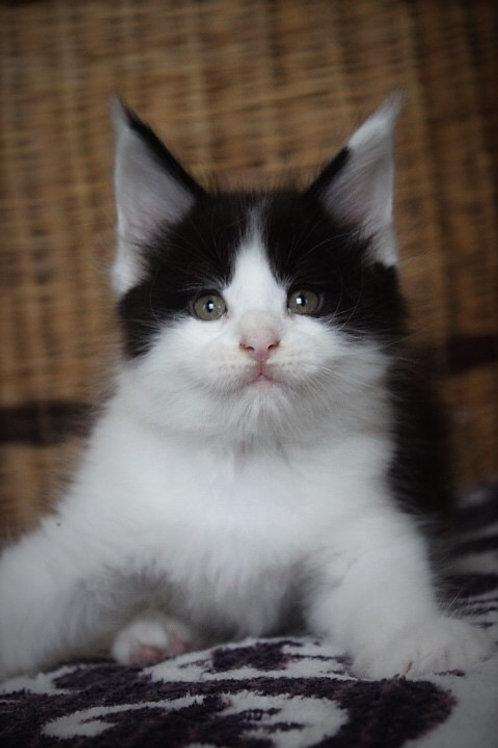 Maxim Maine Coon black bicolor color kitten