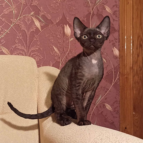 375 Armani male kitten Devon Rex