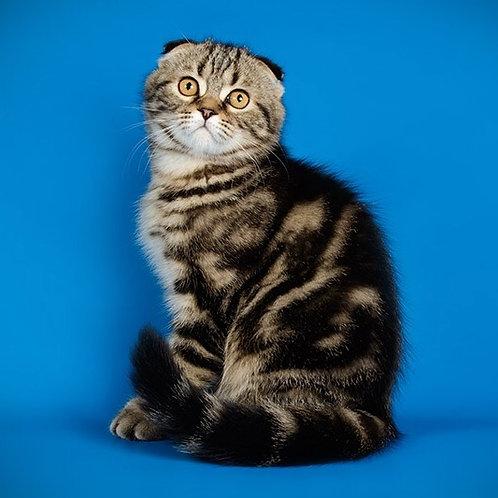 Worthy Scottish fold shorthair male kitten