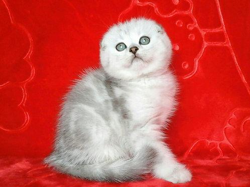 Chewy purebred Scottish fold kitten in a chinchilla color