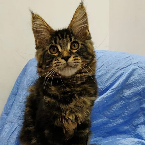 825 Exclusive Maine Coon male kitten