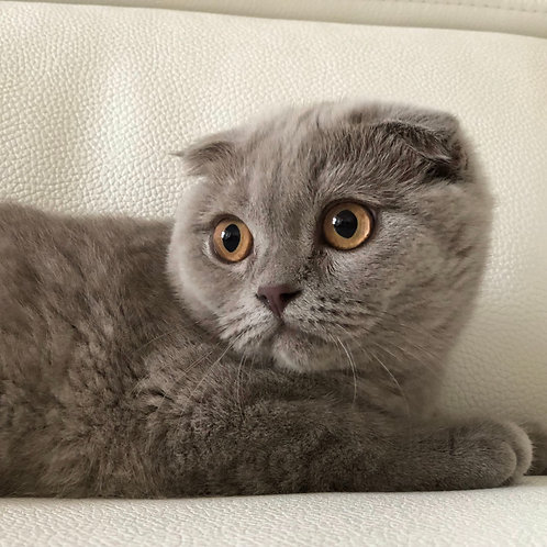 Cranberry Scottish fold shorthair female kitten