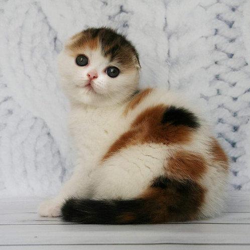 Bosca (f 22 03) Scottish fold female kitten
