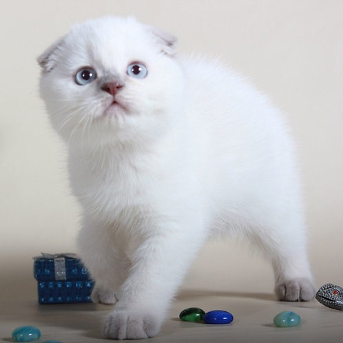 Fadey lilac color point purebred Scottish fold kitten