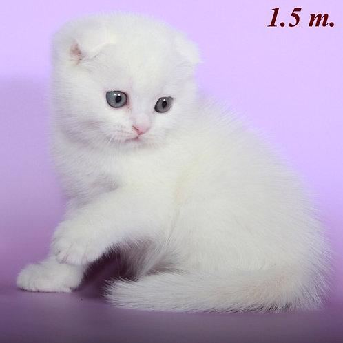 Foxtrot purebred Scottish fold kitten in a white color