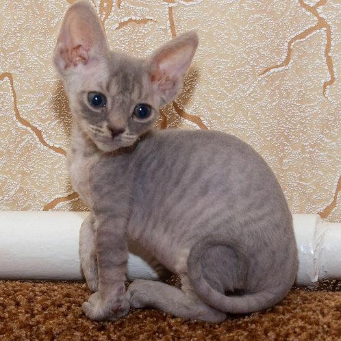Funtik Devon Rex male kitten in a blue tabby color
