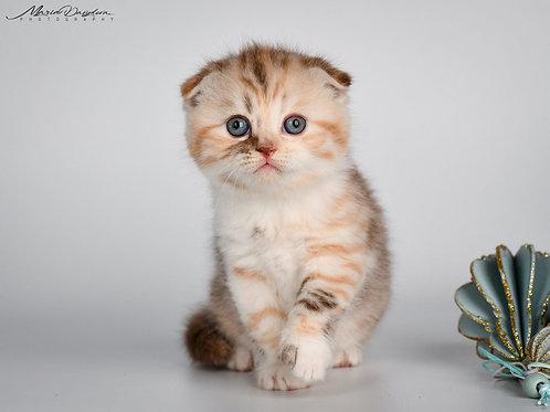 Fiona Scottish fold shorthair female kitten