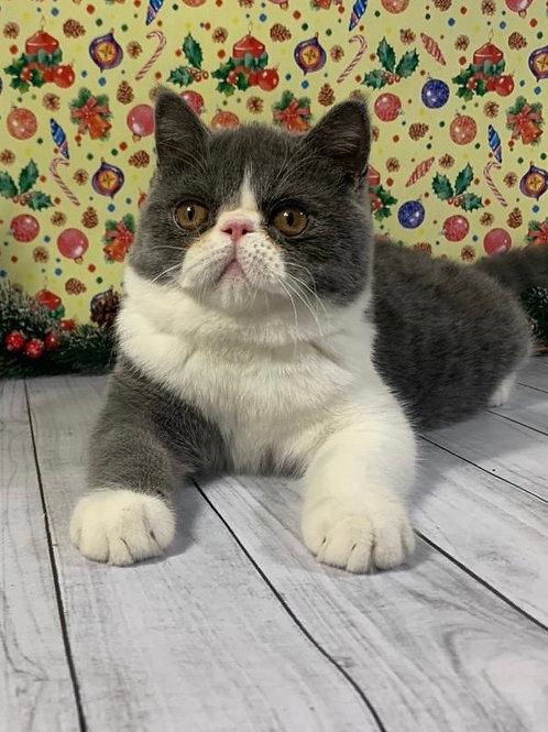 135 Vincent Exotic shorthair male kitten