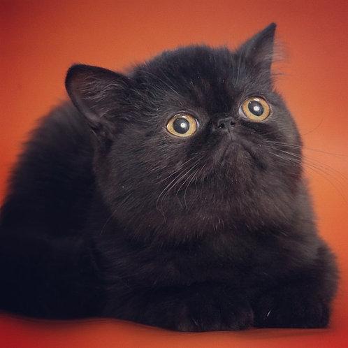 Jannet black color Exotic shorthair female kitten