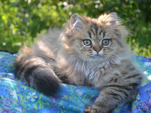 673 Lucky  British longhair male kitten