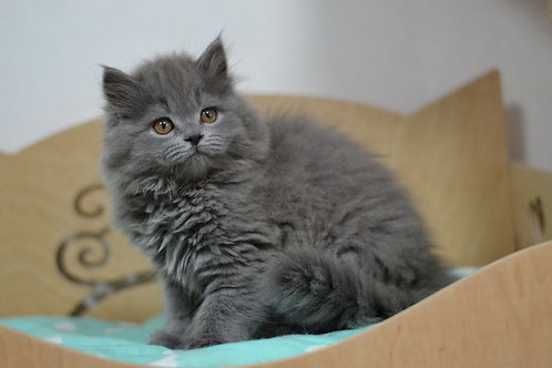 Leo Scottish straight longhair male kitten