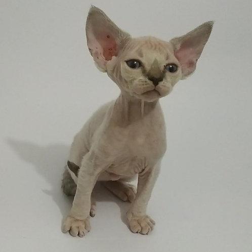 Royal Elf Ernesto Devon Rex male kitten