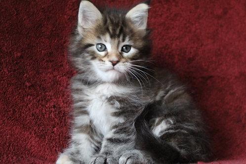 Elsa Maine Coon kitten