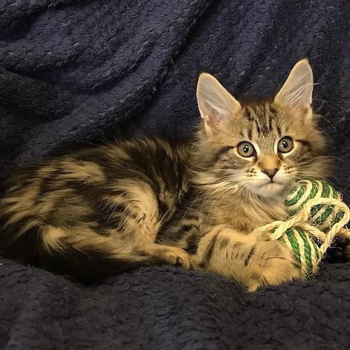 Dania Maine Coon female kitten