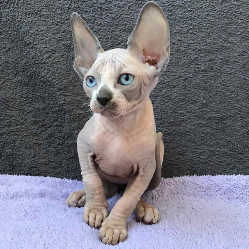 Haddy male Sphinx kitten