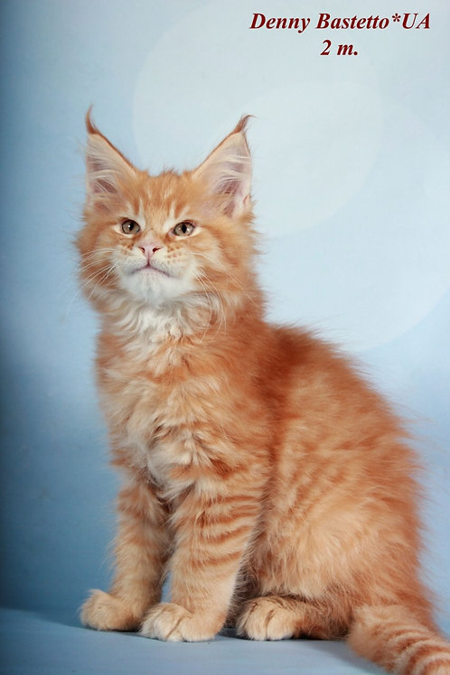Denny purebred Maine Coon male kitten