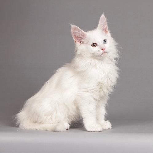 15 Jinda  Maine Coon female kitten