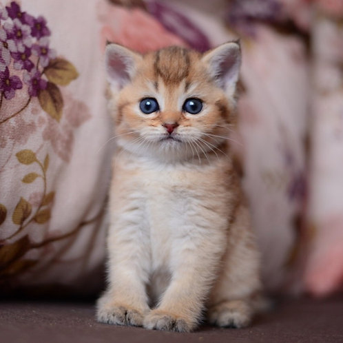 Nebula British shorthair female kitten