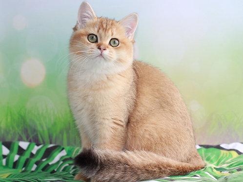 1029 Barbara   British shorthair female kitten
