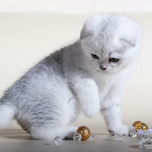 Snowball chinchilla color Scottish fold male kitten