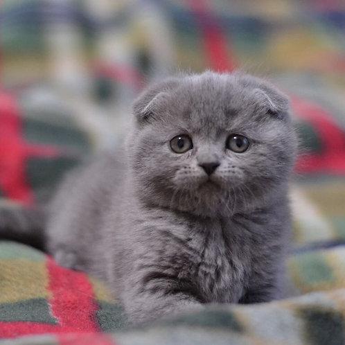Sheri Scottish fold shorthair female kitten