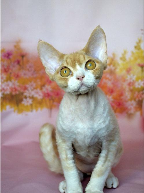 Mistbreeze*UA Indigo Devon Rex male kitten
