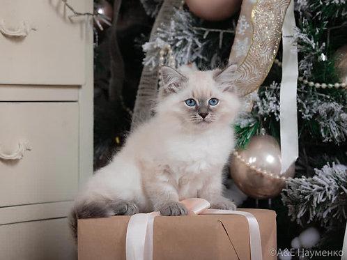 661 Olaf Siberian male kitten