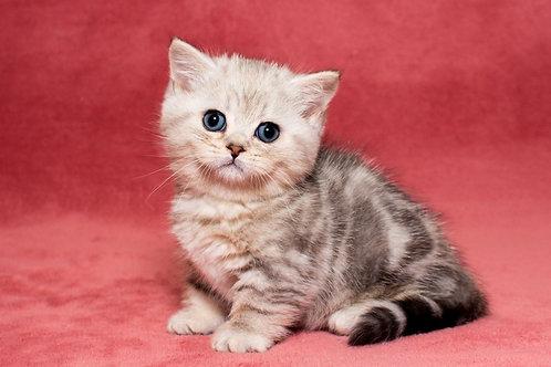 Wiseman Munchkin male kitten