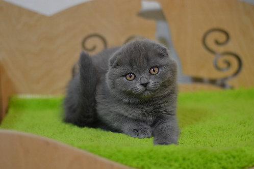 Pepper purebred Scottish fold kitten in a blue color
