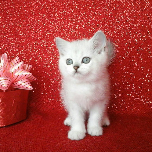 Lexo purebred Scottish fold shorthair kitten with green eyes