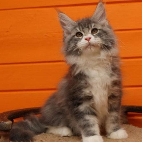 Daniel Maine Coon male kitten