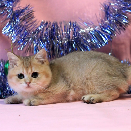 Cedrik purebred British shorthair male kitten