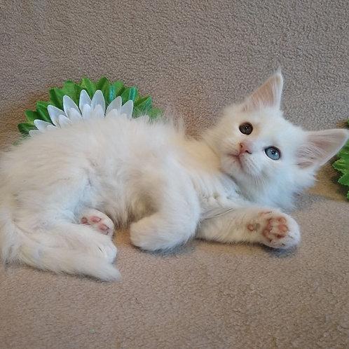 Patrik Maine Coon kitten