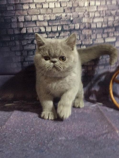 Stefania lilac/blue Exotic shorthair female kitten
