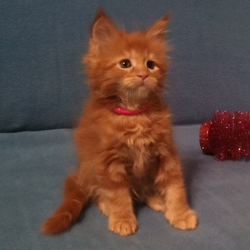 Beatrice Golden Heart purebred red marble color female Maine Coon