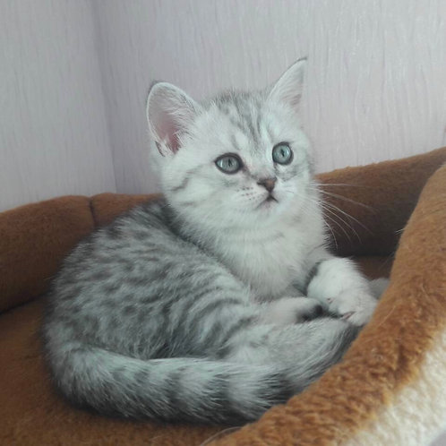 Calipso Scottish straight shorthair male kitten
