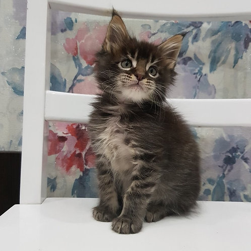 Fantastic black tiger color male Maine Coon kitten