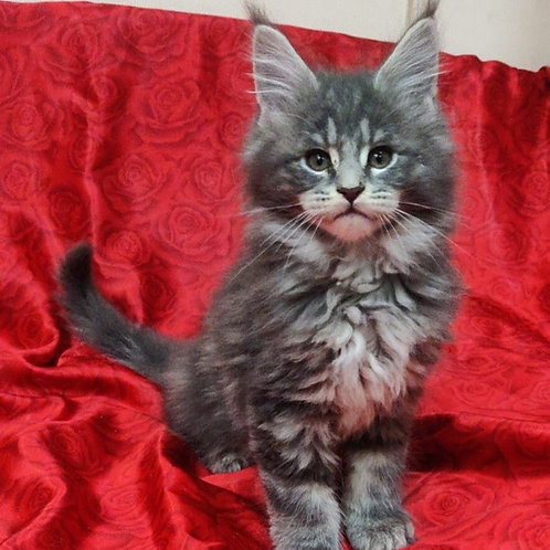 Forward Maine Coon kitten