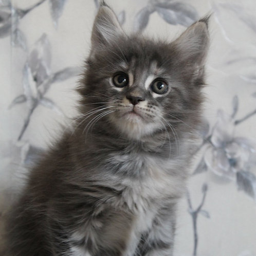 Viva Victoria female Maine Coon kitten