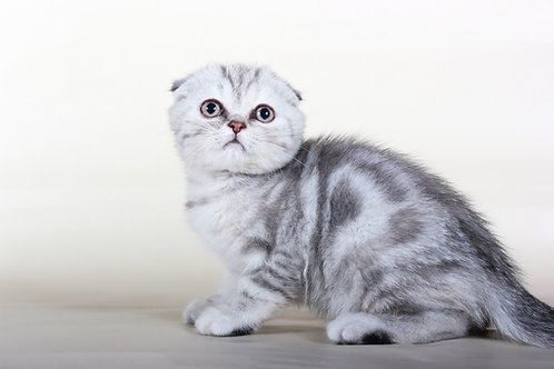 Sabrina silver marble tortie color Scottish fold female kitten