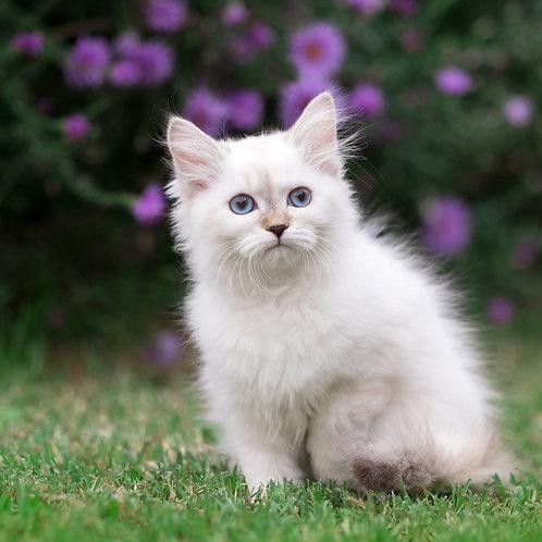 292  Tawolga  Siberian (Neva Masquerade) female kitten