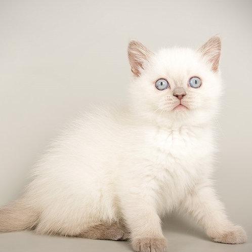 Holly Scottish straight shorthair female kitten