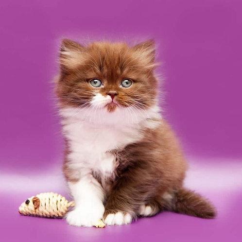 Adam chocolate on white Scottish fold longhair male kitten