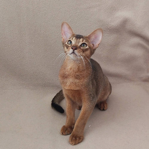 141 Endorphin  purebred Abyssinian male kitten