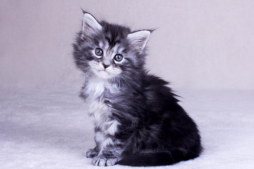 Orinoko Maine Coon black silver tabby color female kitten