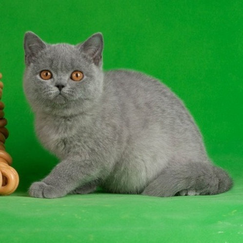Dominic British shorthair male kitten