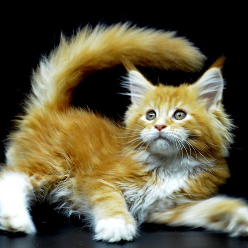 Uniti Maine Coon red marble color male kitten