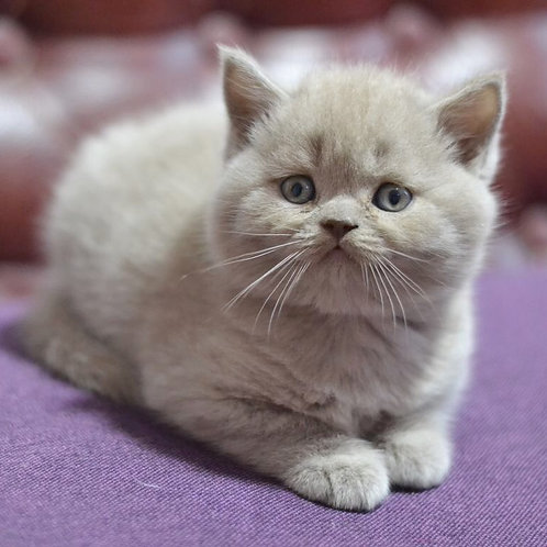 Monty scottish straight male kitten in lilac color