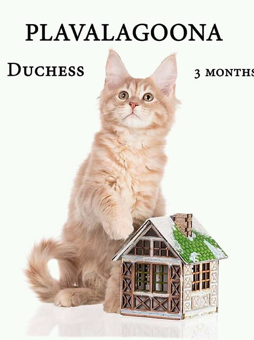 Duchess creamy color male Maine Coon kitten