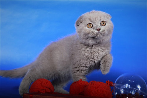 Tatty Scottish fold shorthair female kitten with orange eyes